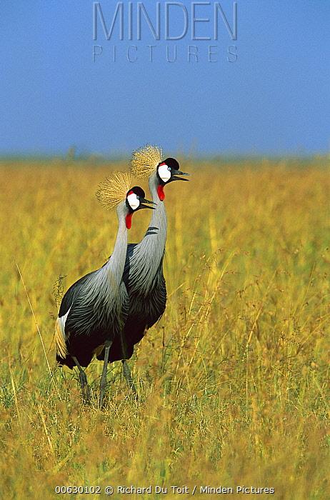 Grey Crowned Crane (Balearica regulorum) alert pair standing in tall grass, Masai Mara National Reserve, Kenya  -  Richard Du Toit
