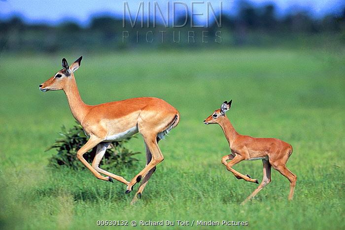 Impala (Aepyceros melampus) mother running with her calf following close behind, summer, Chobe National Park, Botswana
