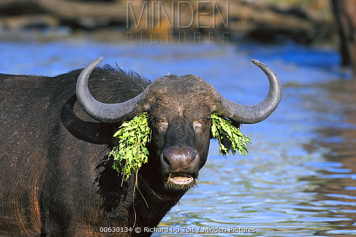 Cape Buffalo (Syncerus caffer) adult female at water hole with aquatic plants on her head, Sabi Sands Private Game Reserve, South Africa