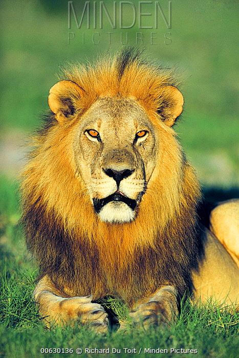 African Lion (Panthera leo) male portrait, Chobe National Park, Botswana