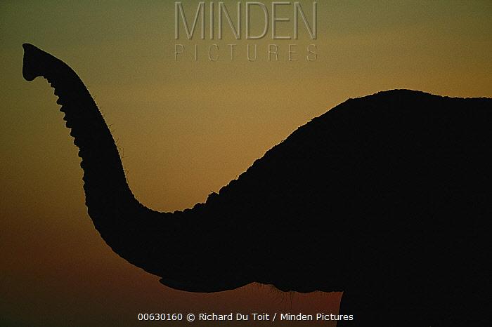 African Elephant (Loxodonta africana) adult taking a dust bath, Chobe National Park, Botswana  -  Richard Du Toit