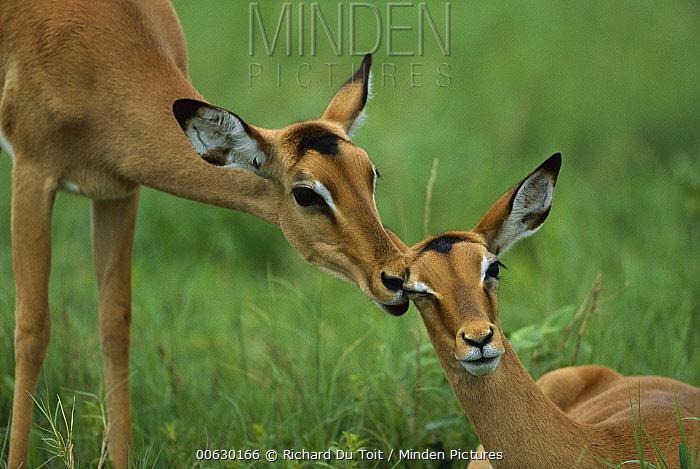 Impala (Aepyceros melampus) pair, summer, Savuti, Chobe National Park, Bostwana  -  Richard Du Toit