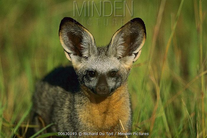 Bat-eared Fox (Otocyon megalotis) in green grasslands of Savuti, Chobe National Park, Botswana  -  Richard Du Toit