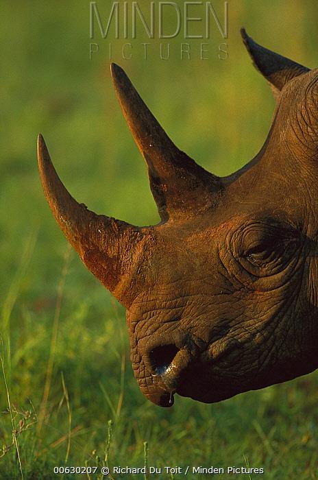 Black Rhinoceros (Diceros bicornis) side profile view of face, Itala Game Reserve, South Africa  -  Richard Du Toit