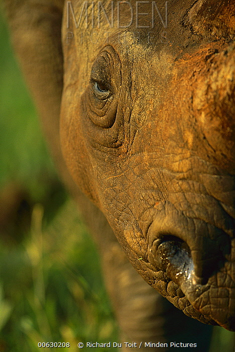 Black Rhinoceros (Diceros bicornis) close-up of face, Itala Game Reserve, South Africa  -  Richard Du Toit