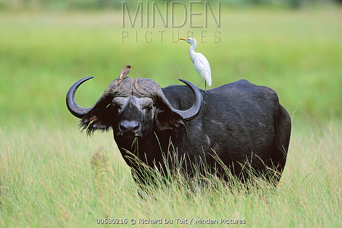 Cape Buffalo (Syncerus caffer) with Cattle Egret (Bubulcus ibis) on its back and an oxpecker on its horns, Okavango Delta, Botswana