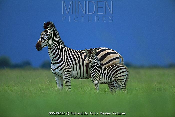 Burchell's Zebra (Equus burchellii) mother and foal, summer, Savuti, Chobe National Park, Botswana  -  Richard Du Toit