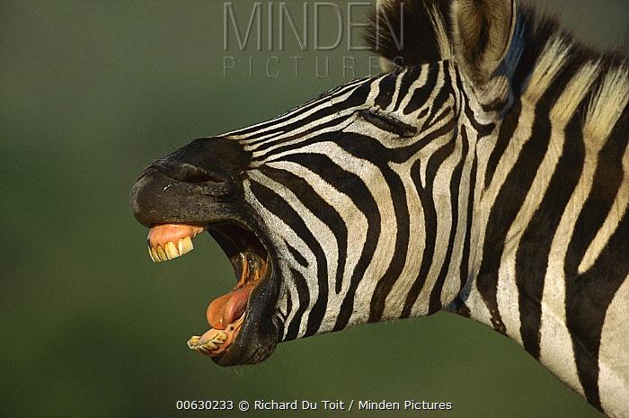 Burchell's Zebra (Equus burchellii) close-up of face of braying animal, Hluhluwe-umfolozi Game Reserve, South Africa  -  Richard Du Toit