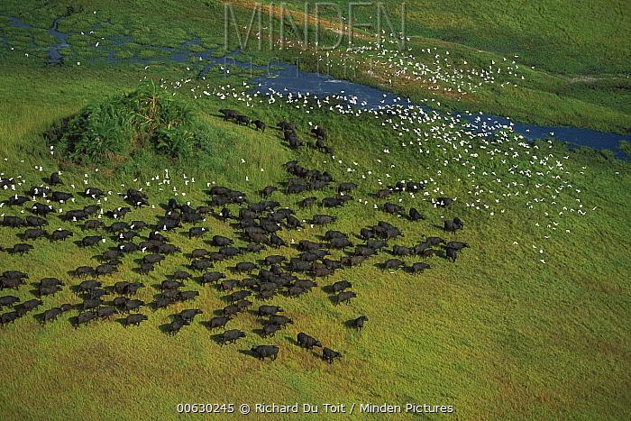 Cape Buffalo (Syncerus caffer) herd with Cattle Egret (Bubulcus ibis) flock, Okavango Delta, Botswana  -  Richard Du Toit