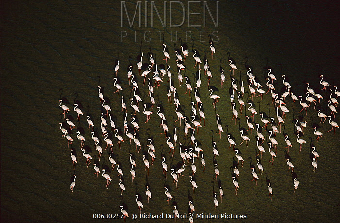 Greater Flamingo (Phoenicopterus ruber) aerial view of flock wading in water, Zeekoevlei, Cape Town, South Africa  -  Richard Du Toit