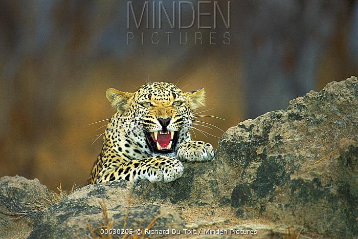 Leopard (Panthera pardus) snarling, Sabi Sands Game Reserve, South Africa