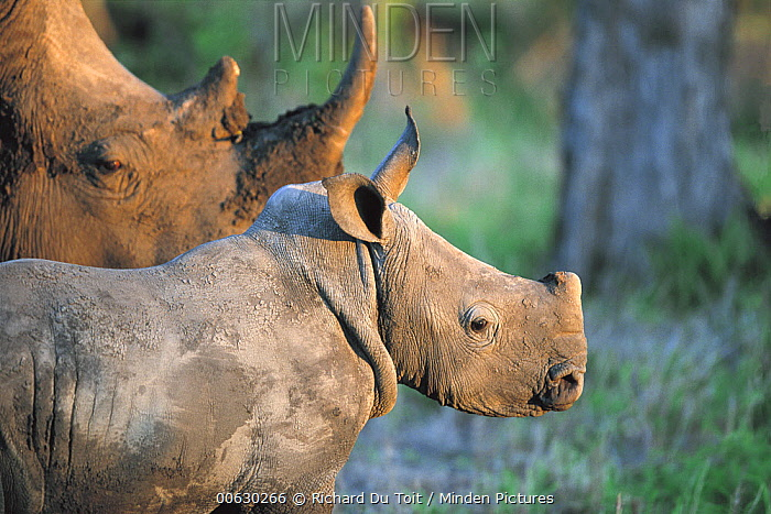 White Rhinoceros (Ceratotherium simum) adult and young, Londolozi, Sabi-sands Game Reserve, South Africa