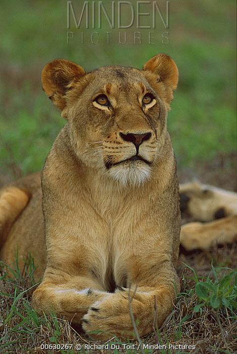 African Lion (Panthera leo) female Londolozi, Sabi-Sand Game Reserve, South Africa  -  Richard Du Toit