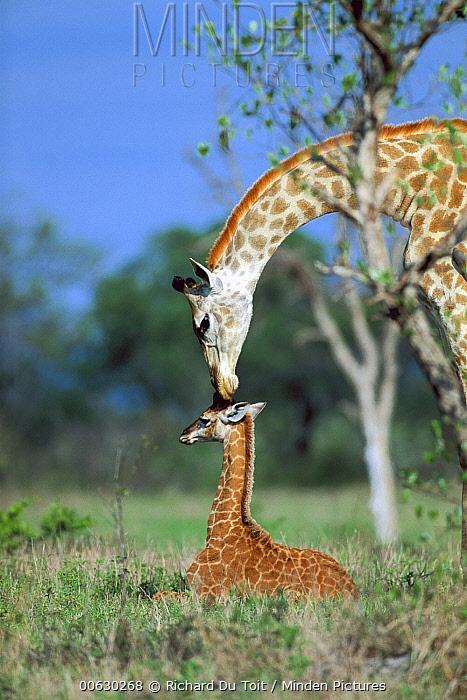 South African Giraffe (Giraffa giraffa giraffa) mother and young, Londolozi, Sabi-Sand Game Reserve, South Africa