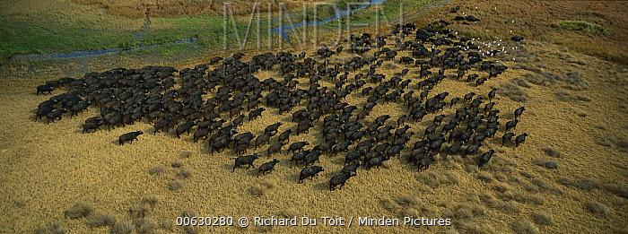 Cape Buffalo (Syncerus caffer) herd with Cattle Egrets (Bubulcus ibis), Okavango Delta, Botswana  -  Richard Du Toit