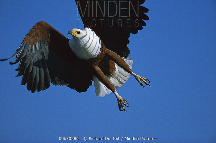 African Fish Eagle (Haliaeetus vocifer) flying, Chobe River, Botswana  -  Richard Du Toit
