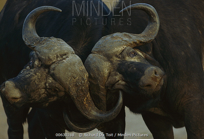 Cape Buffalo (Syncerus caffer) bulls sparring, winter, Malamala Game Reserve, South Africa  -  Richard Du Toit