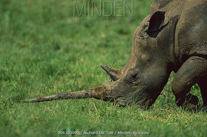 White Rhinoceros (Ceratotherium simum), Hluhluwe, Umfolozi Park, South Africa  -  Richard Du Toit