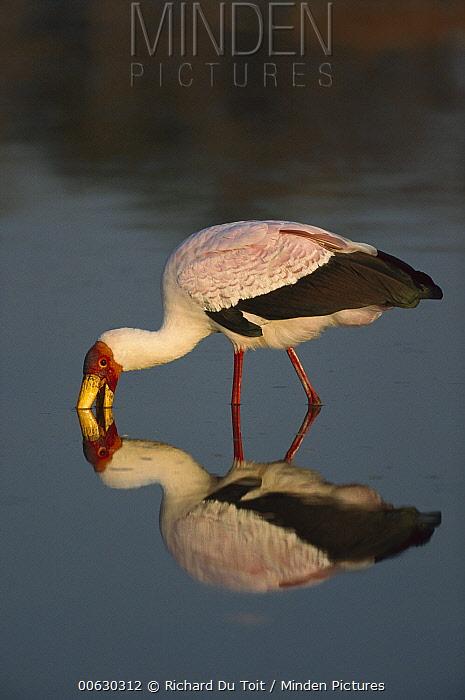 Yellow-billed Stork (Mycteria ibis), Khwai River, Botswana  -  Richard Du Toit