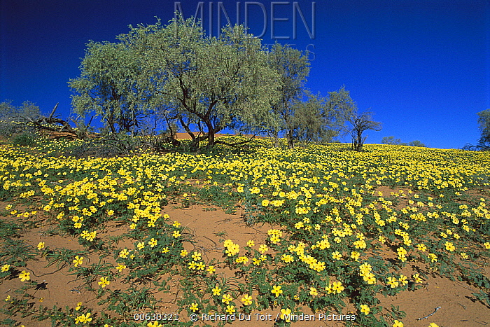 Yellow Vine (Tribulus terrestris), Kgalagadi Transfrontier Park, South Africa  -  Richard Du Toit