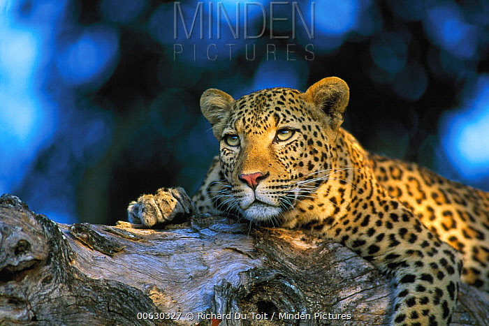 Leopard (Panthera pardus) laying in tree, Sabi Sands Private Game Reserve, South Africa