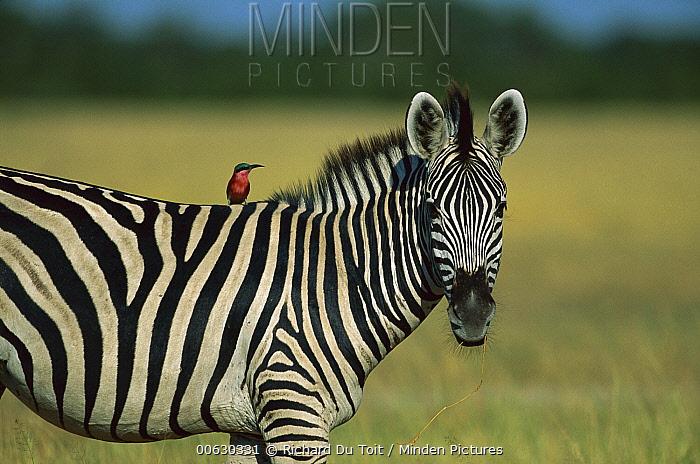 Burchell's Zebra (Equus burchellii) and Carmine Bee-eater (Merops nubicus) as passenger, Savuti, Chobe National Park, Botswana  -  Richard Du Toit