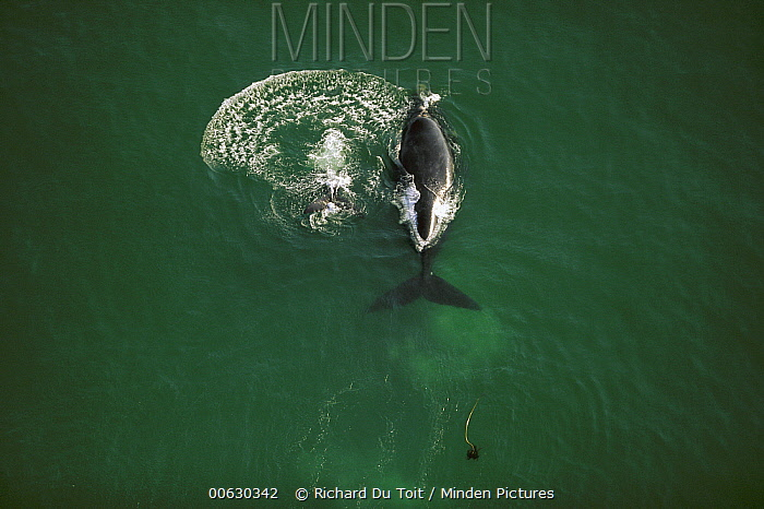 Southern Right Whale (Eubalaena australis) aerial, Walker Bay, South Africa  -  Richard Du Toit