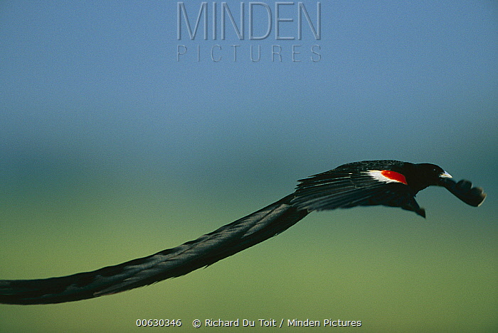 Long-tailed Widow (Euplectes progne) side view of a male flying, Marievale, South Africa  -  Richard Du Toit