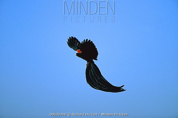 Long-tailed Widow (Euplectes progne) flying male, Marievale, South Africa  -  Richard Du Toit