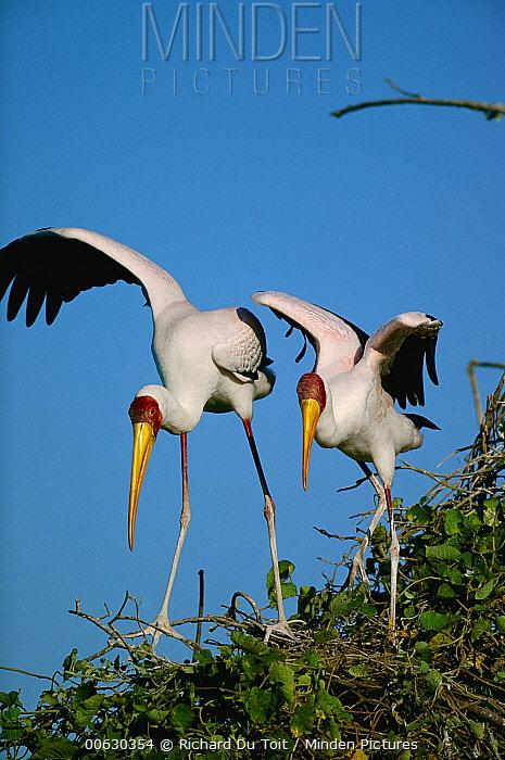 Yellow-billed Stork (Mycteria ibis) pair, Chobe River, Caprivi Strip, Namibia  -  Richard Du Toit