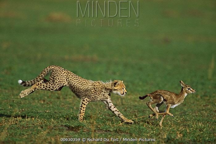 Cheetah (Acinonyx jubatus) cub chasing a Thomson's Gazelle (Eudorcas thomsonii) fawn, Masai Mara National Reserve, Kenya  -  Richard Du Toit