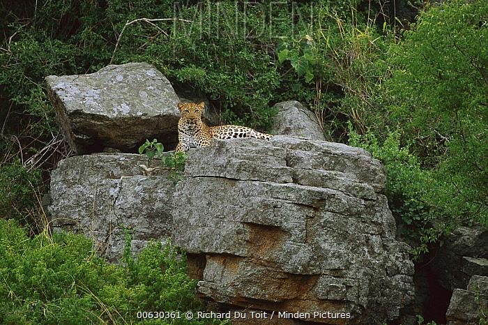 Leopard (Panthera pardus) female lying at den, Sabi Sand Game Reserve, South Africa  -  Richard Du Toit