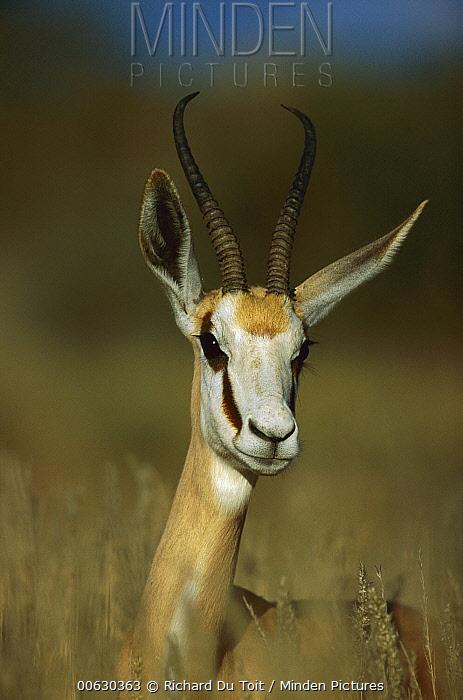 Springbok (Antidorcas marsupialis) portrait, Kalahari, South Africa  -  Richard Du Toit