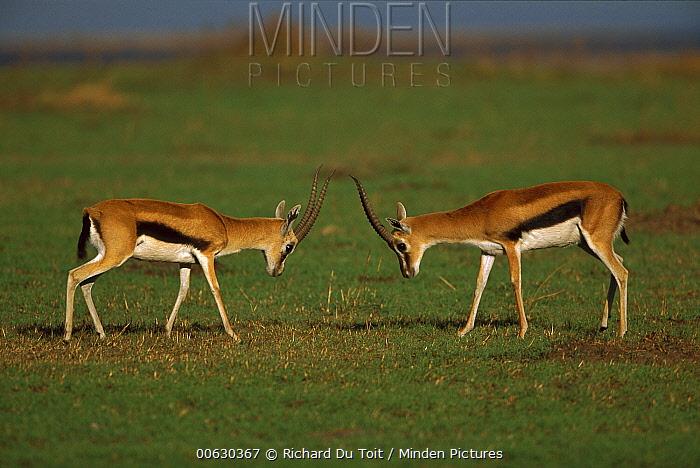 Thomson's Gazelle (Eudorcas thomsonii) two sparring, Masai Mara National Reserve, Kenya  -  Richard Du Toit