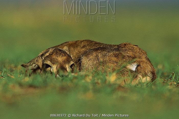 Thomson's Gazelle (Eudorcas thomsonii) fawn, hiding, Masai Mara National Reserve, Kenya  -  Richard Du Toit