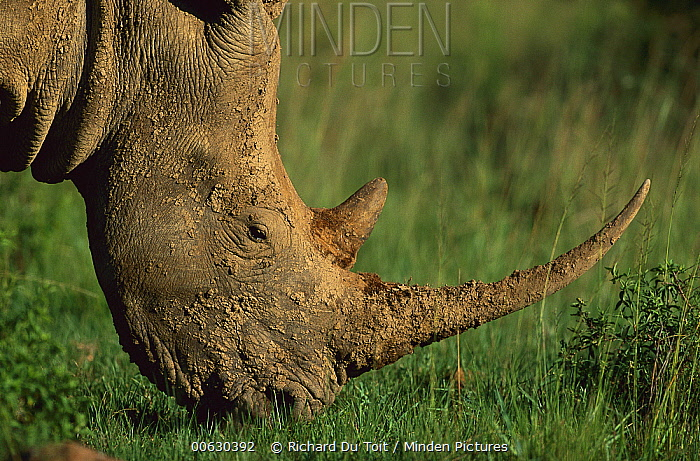 White Rhinoceros (Ceratotherium simum) grazing, Kwa, Zulu Natal, South Africa  -  Richard Du Toit
