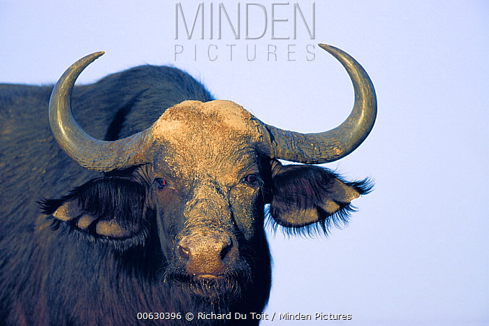 Cape Buffalo (Syncerus caffer) portrait, Chobe River, Caprivi Strip, Namibia