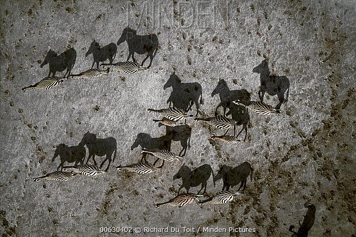 Burchell's Zebra (Equus burchellii) herd crossing pan during summer dry season, Makgadikgadi Salt Pans, Botswana