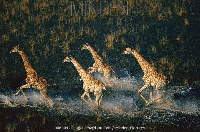 Southern Giraffe (Giraffa giraffa) four running across wetland, Okavango Delta, Botswana  -  Richard Du Toit