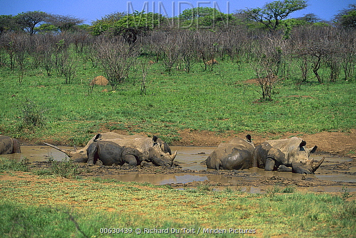 White Rhinoceros (Ceratotherium simum) group wallowing in mud, South Africa  -  Richard Du Toit