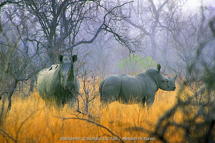 White Rhinoceros (Ceratotherium simum) in the mist, South Africa