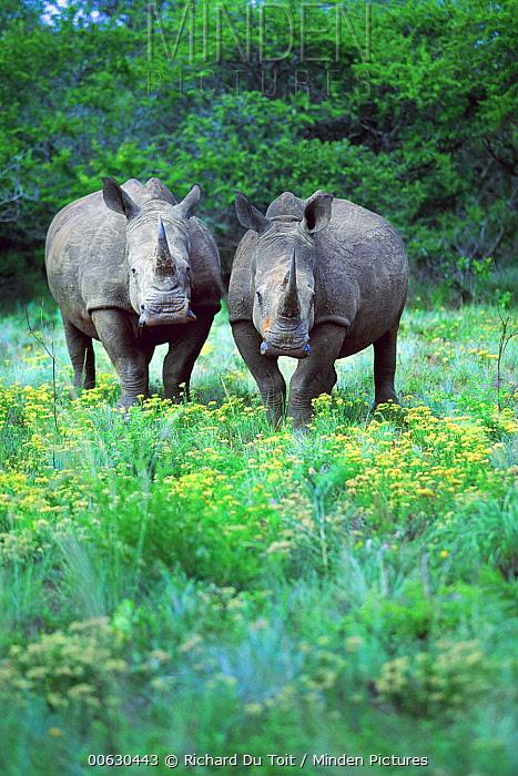 White Rhinoceros (Ceratotherium simum), Phinda Game Reserve, South Africa