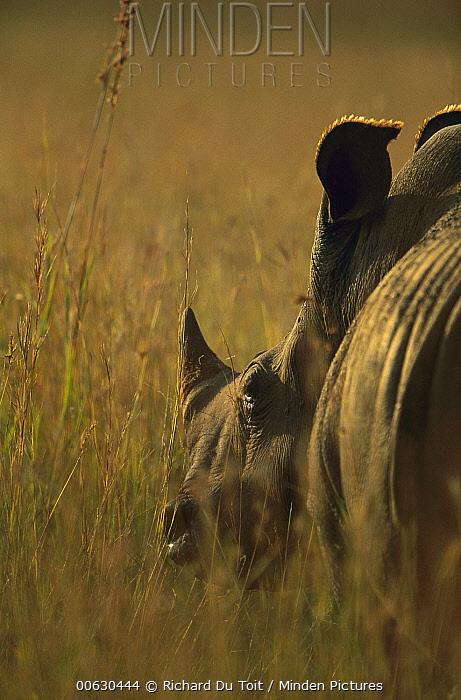 White Rhinoceros (Ceratotherium simum), Itala Game Reserve, South Africa  -  Richard Du Toit