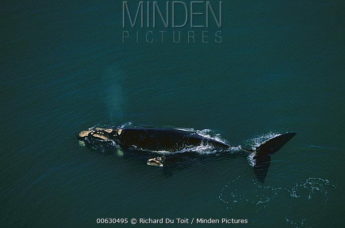Southern Right Whale (Eubalaena australis) surfacing, Plettenberg Bay, South Africa  -  Richard Du Toit