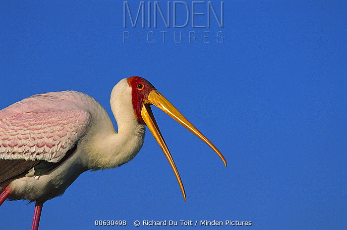 Yellow-billed Stork (Mycteria ibis) calling, Namibia  -  Richard Du Toit