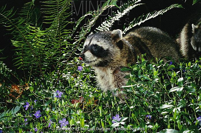 Raccoon (Procyon lotor) at night beside Ferns and Vinca, Forest Park, Portland, Oregon  -  Michael Durham