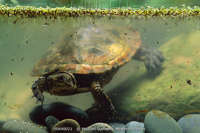 Western Pond Turtle (Clemmys marmorata) adult swimming underwater, Columbia River Gorge, Washington  -  Michael Durham