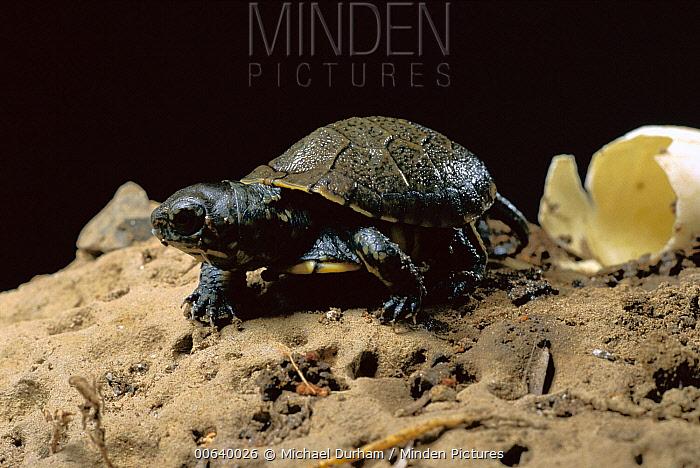 Western Pond Turtle (Clemmys marmorata) hatchling emerging from egg, Columbia River Gorge, Washington  -  Michael Durham