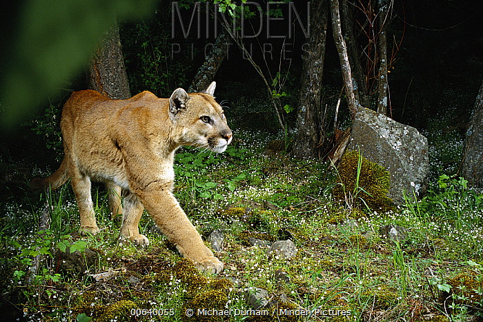 Mountain Lion (Puma concolor) wild animal walking through forest at night, shot with remote camera, Oregon  -  Michael Durham