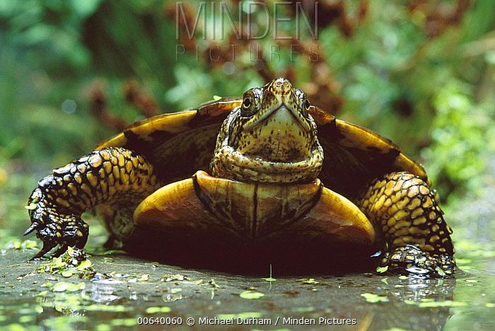 Western Pond Turtle (Clemmys marmorata) portrait in shallow water, Columbia River Gorge, Washington  -  Michael Durham